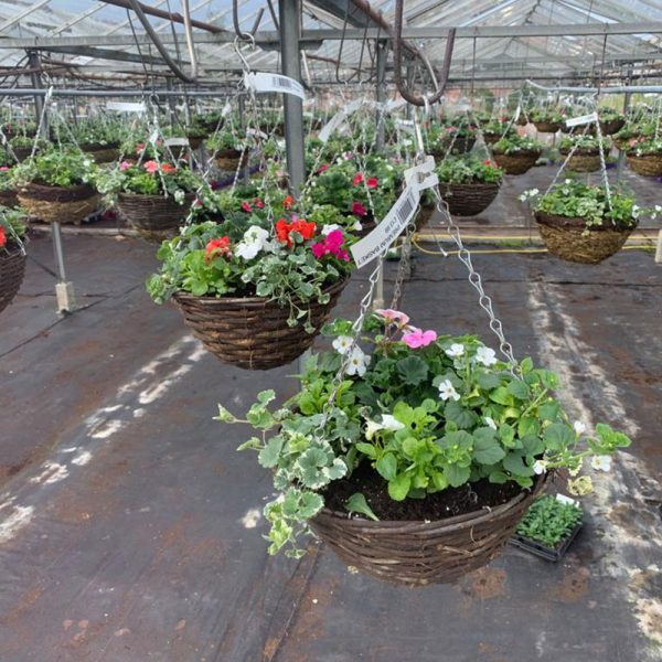 """12"""" Rattan hanging basket packed with summer flowers £13.99"""