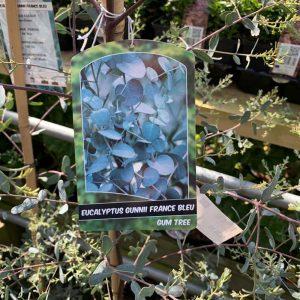 12L Eucalyptus Gunnii France Bleu £39.99