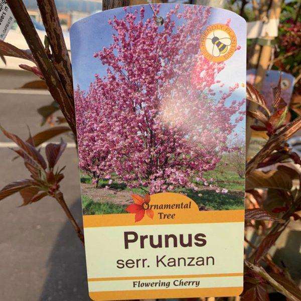 12L Prunus Kanzan flowering cherry £39.99