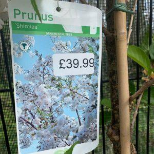 12L Prunus Shirotae £39.99