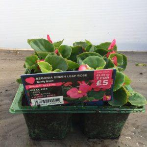 6Pack Upright Begonia Green Leaf Rose