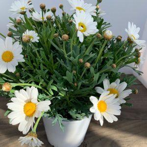Argyranthemum Marguerite White