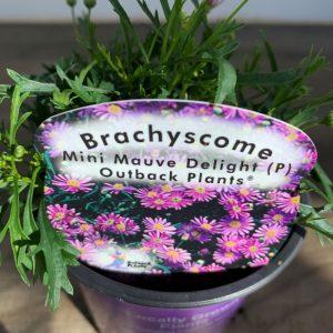 Brachyscome Mini Mauve Delight
