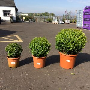 Buxus Ball S-M-L