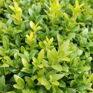 Buxus Sample