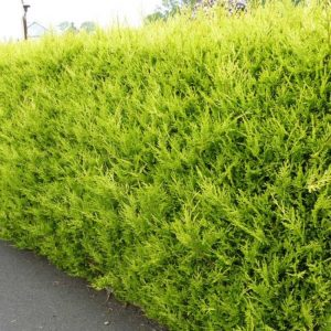 Castlewellan Gold Hedge
