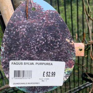 Fagus Sylva Purpurea