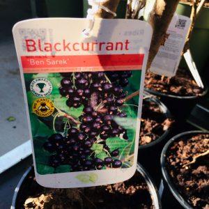 Fruit Blackcurrant 'Ben Sarek'