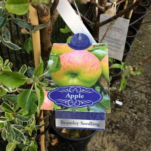 Fruit Tree Apple Bramley Seedling