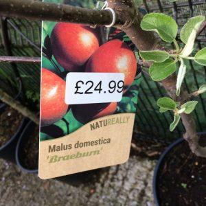 Fruit Tree Apple Malus domestica Braeburn