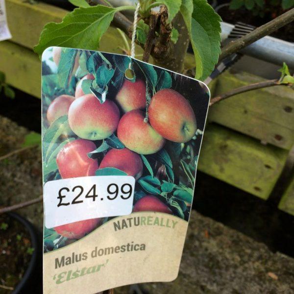 Fruit Tree Apple Malus domestica Elstar