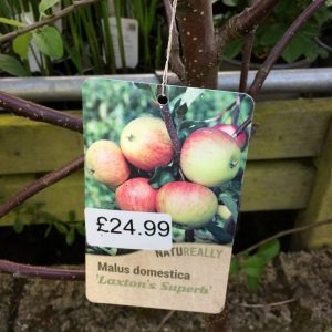 Fruit Tree Apple Malus domestica Laxton's Superb