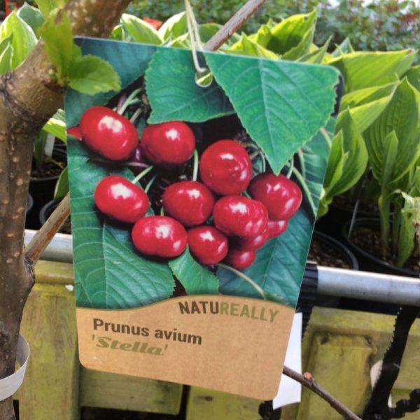 Fruit Tree Cherry Prunus avium Stella