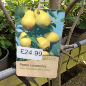 Fruit Tree Pear Pyrus Communis Bon Chretien Williams