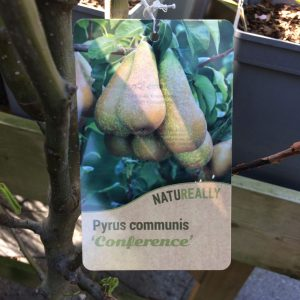 Fruit Tree Pear Pyrus Communis Conference