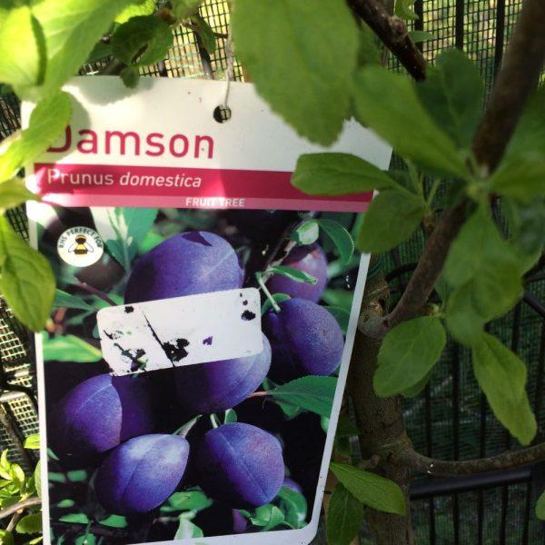 Fruit Tree Plum Prunus domestica Damson
