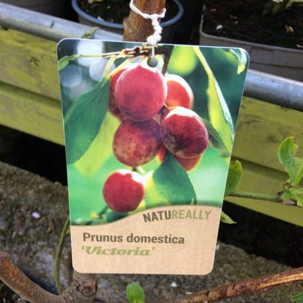 Fruit Tree Plum Prunus domestica Victoria