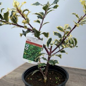 Ilex Aquifolium 'Handsworth New Silver'