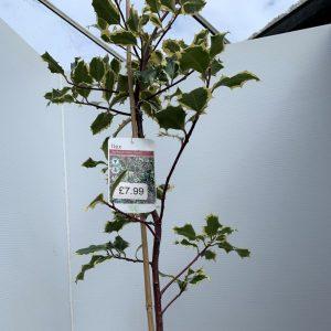 Ilex Aquifolium 'Silver Queen'