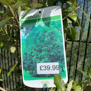 Ilex Quercus
