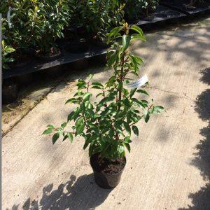 Laurel (Portuguese) Prunus Lusitanica Angustifolia