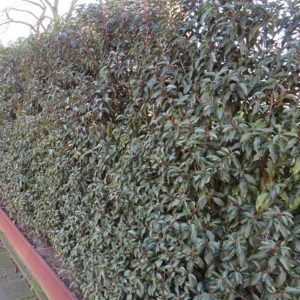 Laurel (Portuguese) Prunus Lusitanica Angustifolia Hedge