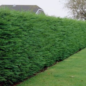 Leylandii Green Hedge