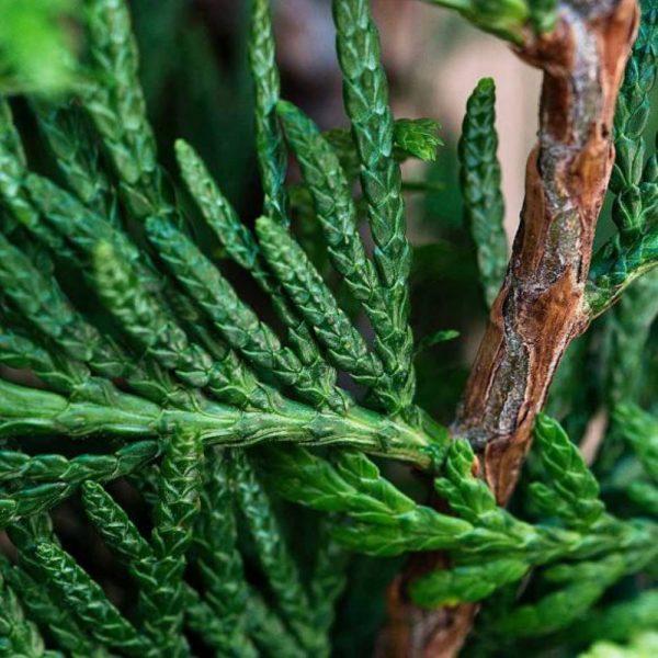 Leylandii Green Sample
