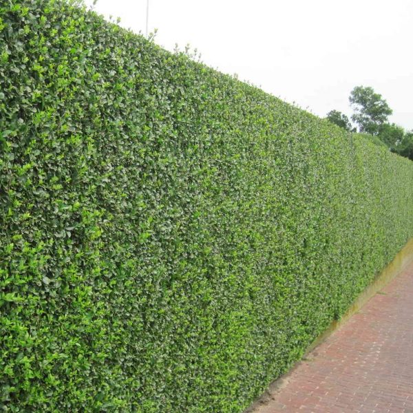 Privet (Ligustrum) Hedge