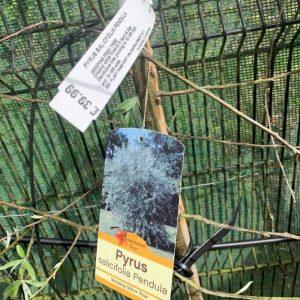 Pyrus salicifolia Pendula 'Weeping Silver Pear'