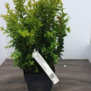 Buxus Hedging 2L (sqaure pot)