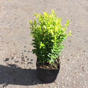 Buxus Hedging (Height 24cm)