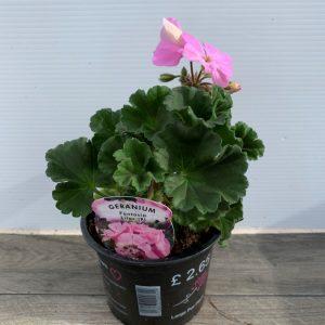 Geranium Upright Lilac