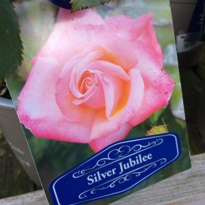 Rose Silver Jubilee
