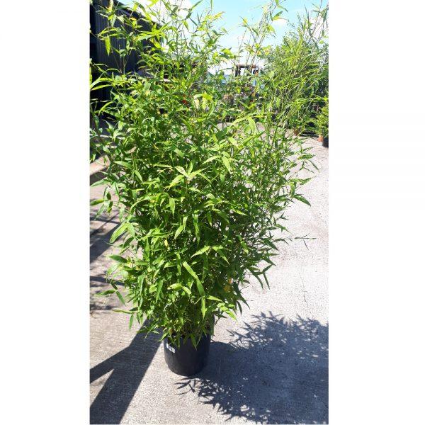Bamboo 4ft