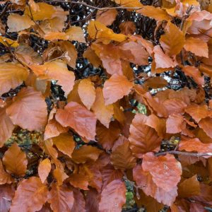 Beech Autumn Sample