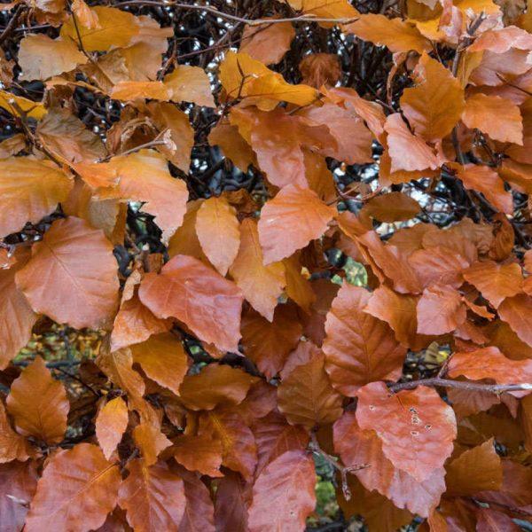Beech Autumn Sample