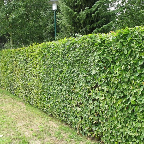 Beech Green Hedge