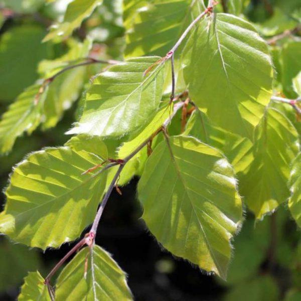 Beech Green Sample