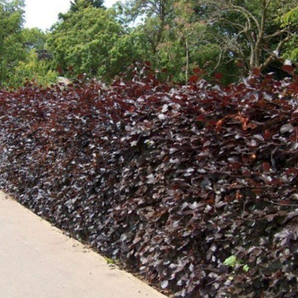 Beech Purple Hedge