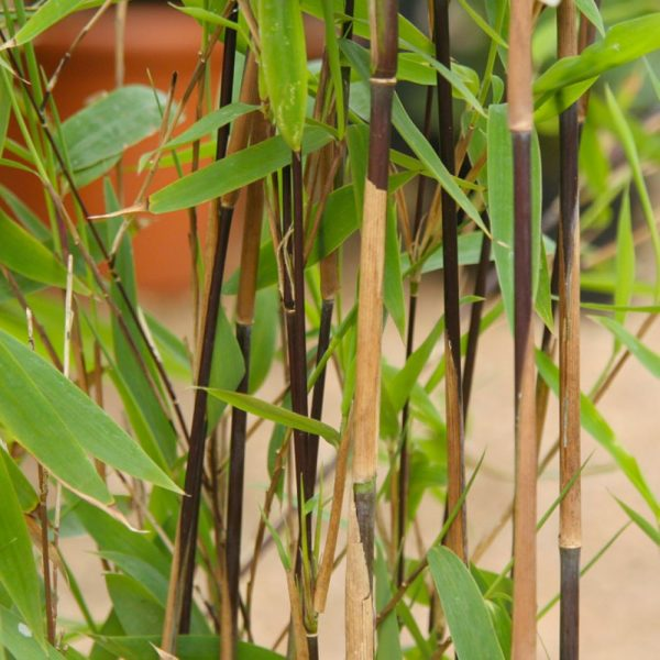 Fargesia Nitida 'Black Pearl' (Blue Fountain Bamboo) Sample