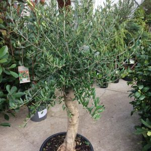 Olea Europaea Standard Olive Large