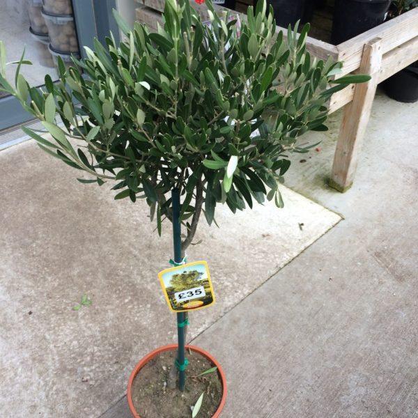 Olea Europaea Standard Olive Medium