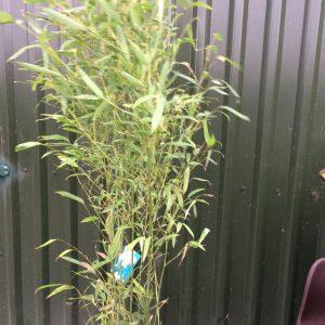 Phyllostachys Aurea 'Golden Bamboo'
