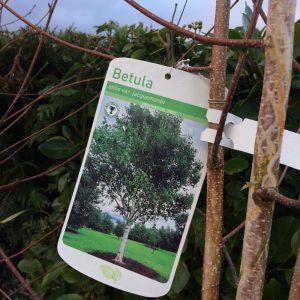 Carpinus betulus utilis var. jacquemontii
