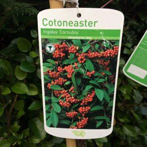 Cotoneaster Frigidus 'Cornubia'