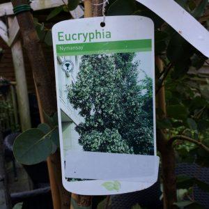 Eucryphia 'Nymansay'