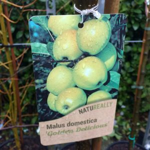Fruit Tree Apple Malus domestica 'Golden Delicious'
