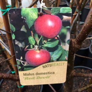 Fruit Tree Apple Malus domestica 'Red Devil'