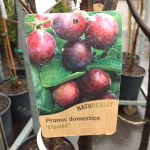Fruit Tree Plum Prunus domestica 'Opal'
